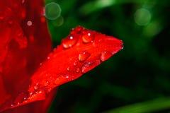 Nasses rotes Tulpenblumenblatt Lizenzfreie Stockfotografie
