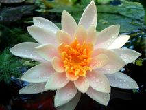 Nasses Waterlily Lizenzfreie Stockbilder