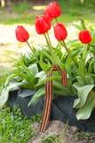 Nastro di St George sul letto di fiore dei tulipani rossi Immagine Stock Libera da Diritti
