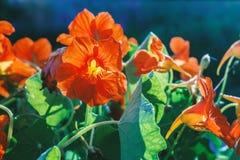 Nasturce de floraison par temps ensoleillé photographie stock libre de droits