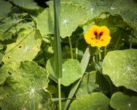 Nasturce de majus de Tropaeolum, fleur sauvage de cresson indien en nature Photographie stock