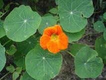 Nasturci jeden pomarańczowy kwiat i liście Zdjęcie Royalty Free