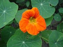 Nasturci jeden pomarańczowy kwiat Zdjęcia Royalty Free