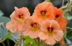 Nasturcja kwiat Fotografia Royalty Free