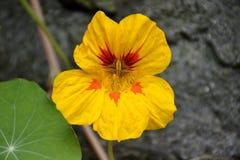 Nasturcja kwiat Obrazy Stock