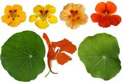 Nasturcja kwiatu set Zdjęcia Stock