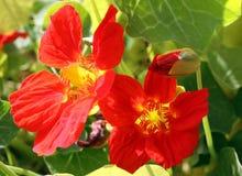 Nasturcja kwiaty Fotografia Royalty Free