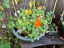 Nasturcji roślina z zielenią opuszcza i pomarańczowy kwiat zdjęcie stock