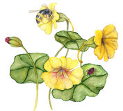 Nasturiums and bees. With laybug and leaves vector illustration