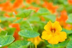 nasturtium λουλουδιών Στοκ Φωτογραφία