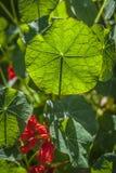 Nasturtium λουλούδια Στοκ φωτογραφίες με δικαίωμα ελεύθερης χρήσης