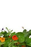 Nasturtium λουλούδια Στοκ Εικόνες