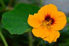 Nasturtium λουλούδι Στοκ Εικόνες
