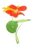 Nasturtium λουλούδι Στοκ φωτογραφία με δικαίωμα ελεύθερης χρήσης