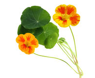 Nasturtium λουλούδι στοκ φωτογραφία