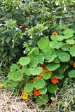 Nasturtium στον κήπο Στοκ Φωτογραφίες