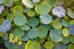 Nasturtium φύλλα Στοκ φωτογραφία με δικαίωμα ελεύθερης χρήσης