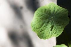 Nasturtium φύλλο Στοκ Εικόνες