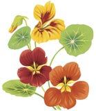 nasturtium цветка Стоковая Фотография RF