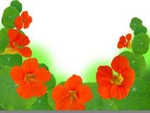 Nasturtium Stock Image