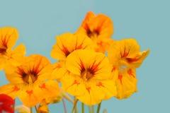 Nasturtium Royalty Free Stock Image