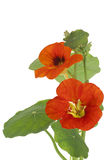 Nasturtium Stock Photography