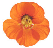 Nasturtium. Studio Shot of Red and Orange Colored Nasturtium Isolated on White Background. Large Depth of Field (DOF). Macro. Symbol of Patriotism and Conquest Stock Photo
