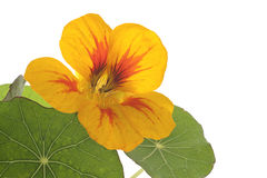 Nasturtium Royalty Free Stock Images