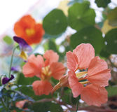 Nasturtium. Orange flowers of nasturtium in parterre Royalty Free Stock Photos