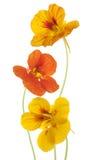 Nasturtium royalty free stock photos