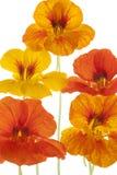 Nasturtium Stock Images