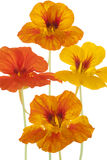 Nasturtium Royalty Free Stock Photography