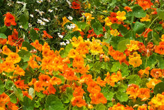 Nasturtium. Flower-bed with great number multicolored nasturtiums stock images