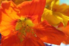 nasturtium Royaltyfri Fotografi