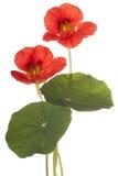 nasturtium Стоковые Фотографии RF