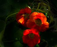 Nasturtium. Beams against the light of the autumn sun Royalty Free Stock Photo