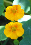 Beautiful yellow nasturtium flowers surrounded by  Stock Images
