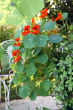 Nasturtium blooming Royalty Free Stock Photography