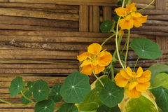 Nasturtium At A Fence. Nasturtium Flowers in front of an old Fence Royalty Free Stock Photo