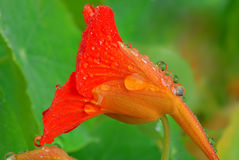 Nasturtium flower Stock Photo