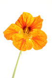 Nasturtium flower Stock Images
