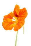 Nasturtium flower Royalty Free Stock Images