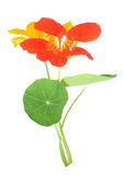 Nasturtium flower Royalty Free Stock Photography
