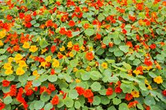 Nasturtium flower bed. Nasturtium flowers of red and yellow colors stock photo