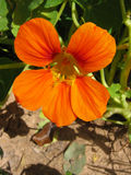 A nasturtium flower in a bed Stock Photo