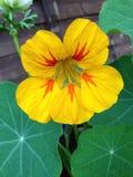 Nasturtium. Flower in bloom Royalty Free Stock Images