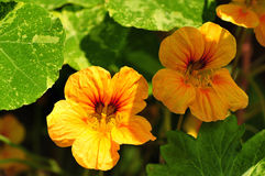 Nasturtium flower Stock Photography