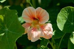 Nasturtium Flower Stock Image