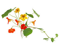 Nasturtium Flower Stock Images