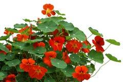 Free Nasturtium Flower Plant Royalty Free Stock Photography - 63483187